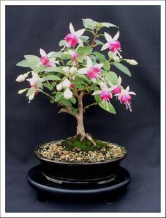 Bonsai Garden, home of the Fuchsia Bonsai. Excellent bonsai information resource with tutorials, galleries and forums to help you get started by Kath Van Hanegem. Mini Bonsai, Indoor Bonsai Tree, Bonsai Art, Bonsai Garden, Bonsai Trees, Flowers Garden, Succulents Garden, Herb Garden, Home And Garden