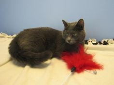 Meet aurora, a Petfinder adoptable Domestic Short Hair-gray Cat | Northfield, MN | Aurora is a pretty grey kitty who came to us her owner had to move and could not take her along....