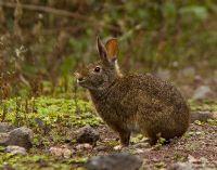 Forest Rabbit ~j