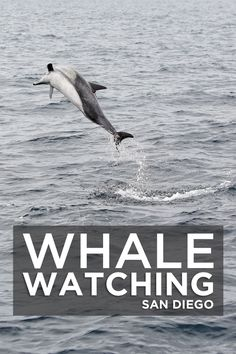 Whale Watching in San Diego (300 dolphins + 6 whales sighted!)
