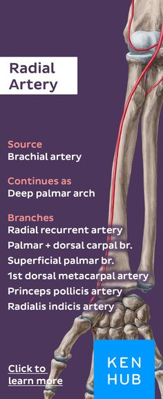 The radial artery is a continuation of the brachial artery and is one of the major blood supplying vessels to the structures of the forearm. Click for more info! #arteryfacts #anatomy