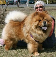 DRAGONSLAYER Reg'd Perm, chow chow, Merrickville, Ontario, Canada Fluffy Dog Breeds, Fluffy Dogs, Best Dogs For Families, Family Dogs, Big Dogs, I Love Dogs, Chinese Dog, Lion Dog, Dog Information