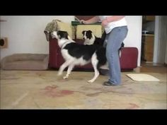 """Turn and Back up through your legs: """"How to"""" Dog Trick for Canine Freestyle - YouTube"""