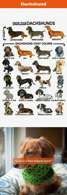 The traits I admire about the Smart Daschund Puppy Dapple Dachshund Puppy, Dachshund Funny, Dachshund Clothes, Wire Haired Dachshund, Daschund, Dachshund Love, Shitzu Puppies, Puppies Tips, Tiny Puppies