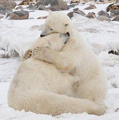 Polar Bears now thats a bear hug