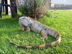 Reptile - Iguane - Mango on Yummypets.com iguana These were on the grounds in Costa Rico at Playa Tambor.