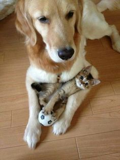 are those two dogs?animals kittens dogs baby animals cute animals golden retriever cats and dogs playful animals Animals And Pets, Baby Animals, Funny Animals, Cute Animals, Funny Cats, Funniest Animals, Animal Memes, Funny Humor, Animal Captions