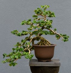 The Exotic Carissa Bonsai has Small Leaves, Flowers and Fruit. Often used as an indoor bonsai trees, Carissa bonsai are also known as Natal plum and carissa boxwood.