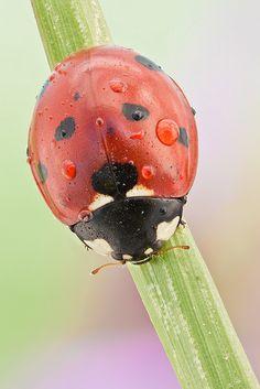 Mariquita/Ladybird 3X field stack