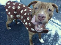 SAFE - 02/11/15 --- Manhattan Center   LIGER - A1026465   MALE, RED / BR BRINDLE, AM PIT BULL TER MIX, 8 mos OWNER SUR - EVALUATE, NO HOLD Reason NEW BABY  Intake condition EXAM REQ Intake Date 01/27/2015 https://www.facebook.com/photo.php?fbid=952241988122014