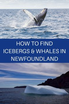 Traveling to Newfoundland? Check out this article about nature and wildlife places to visit in Newfoundland. Canada travel, places to see in Canada, things to do in Newfoundland, Newfoundland travel guide, wildlife in Newfoundland Quebec, Vancouver, Toronto Canada, Alberta Canada, Newfoundland And Labrador, Newfoundland Canada, Newfoundland Icebergs, Gros Morne, Visit Canada