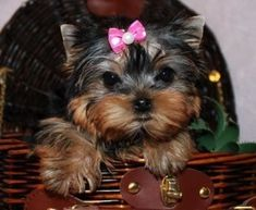 Yorkshire Terrier is one of the most popular dog breeds in the world, and despite their small size, Yorkies have Yorkie Puppies For Adoption, Puppies Near Me, Yorkie Puppy For Sale, Pet Adoption, Yorkies, Yorkie Dogs, Shitzu Puppies, Chihuahua, Teacup Yorkie