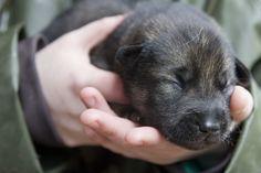 Sweet pea baby husky pup..