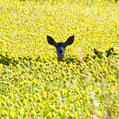 Deer in a yellow flower field -- so happy and cheerful!