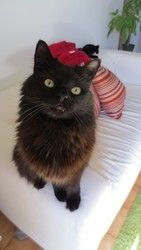 Muku is an adoptable Domestic Medium Hair Cat in Montreal, QC. You can fill out an adoption application online on our official website. Muku a une magnifique fourrure noire et il est très doux. Il a v...