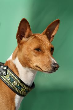 """Africa incarnate by SaNNaS on deviantART. The Basenji is commonly known as the """"barkless dog,"""" but when excited, he makes a noise that sounds like a yodel. Barkless he may be, quiet he is not."""