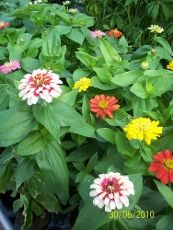 Zinnia Care – How To Grow Zinnia Flowers    By Becca Badgett       Zinnia flowers are a colorful and long lasting addition to the flower garden. When you learn how to plant zinnias for your area, you'll be able to add this popular annual to sunny areas that benefit from their perky blooms.
