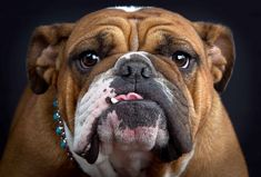 English Bulldog - 36 Pictures