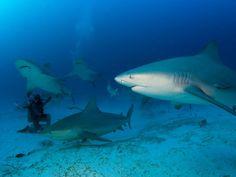 Bull shark diving Playa del Carmen. #RivieraMaya #UnikGo