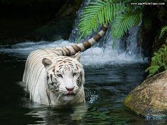 ^White Tiger