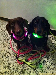 Two Dachshund with pink and neon-green light collar LEUCHTIE Mini.