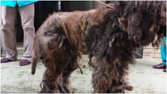 Shelter Workers and Groomers In Japan Save Neglected Animal They Couldn't Recognize   Golfers Today