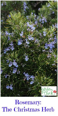 Do you know the story behind Rosemary and it's role in Christmas? Read more here!