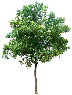 20 Free Tree PNG Images  - Artocarpus heterophyllus02L