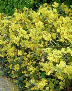 Gewöhnliche Mahonie • Mahonia aquifolium • Stechdornblättrige Mahonie • Pflanzen & Blumen • 99Roots.com