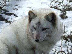 Image result for tundra animals