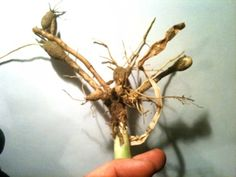 Daylily tubers