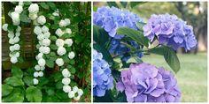 Le piante da pergolato Ortensia Rampicante