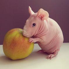 Ludwik Guinea Pig gallery: http://www.boredpanda.com/naked-guinea-pig-food-photoshoot-ludwig/?utm_source=facebook&utm_medium=link&utm_campaign=BPFacebook