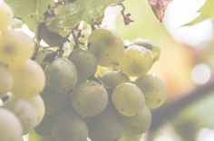 ---------------> Grapes <-------------
