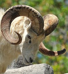 Cabras Animal, Mundo Animal, Nature Animals, Animals And Pets, Cute Animals, Beautiful Creatures, Animals Beautiful, Lamas, Big Horn Sheep