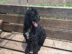 Cockapoo dog for Adoption in Urbana, IL. ADN-596864 on PuppyFinder.com Gender: Male. Age: Senior