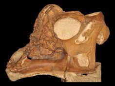 Crâne du bébé Parasaurolophus Joe