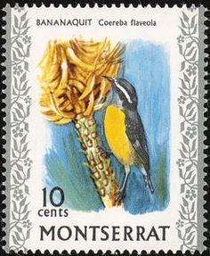 Bananaquit Coereba flaveola - Google Search