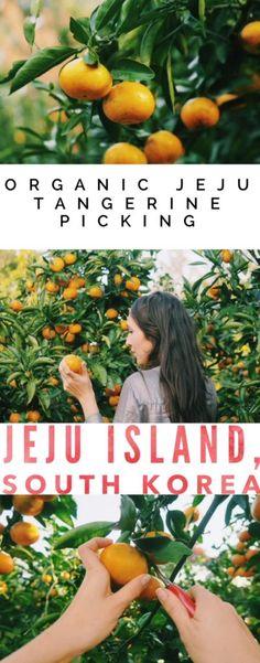 Organic Jeju Tangerine Picking on Jeju Island, South Korea