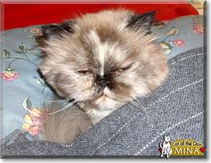 Read Mina the elderly Himalayan's story from New Haven County, Connecticut and see her photos at Cat of the Day http://CatoftheDay.com/archive/2011/June/16.html .