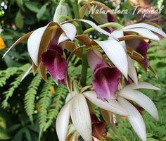 La orquídea de la Monja, Phaius tankervillae