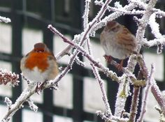 The Robin Gallery... - Photography - Wildlife - The RSPB Community