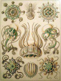 Items similar to Ernst Haeckel Jellyfish artwork century Wildlife art Paleontology artwork Zoology art History of science poster on Etsy Illustration Botanique, Botanical Illustration, Medusa, Motifs Organiques, Ernst Haeckel Art, Art Et Nature, Nature Decor, Natural Form Art, Science Illustration