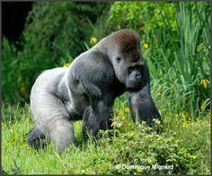 Gorilles des plainesde l'Ouest ˆ la VallŽe des Singes - Romagne Silverback Gorilla, Chimpanzee, Orangutan, Gorilla Gorilla, Primates, Mammals, Animals And Pets, Cute Animals, Ape Monkey
