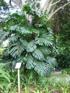 Philodendron - Philodendron : [du grec : philo (ami) + dendron (arbre)] est un genre de plantes de la famille des Araceae, comprenant plus de 700 espèces. Certaines d'entre elles sont connues comme plantes ornementales ou d'intérieur.
