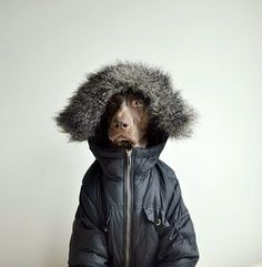 one German shorthaired pointer A barker in a parka!