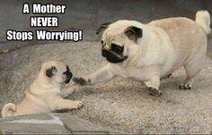 Cute pug mother