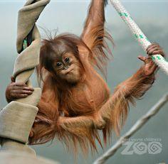 Image result for orangutan baby