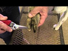 ▶ How to Trim Goat Hooves - YouTube #goatvet likes both the stand to restrain the goat and the foot trimming