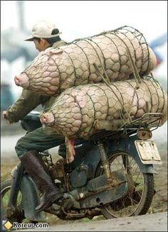 porcs saucissonnes